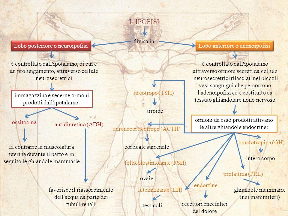divisa in: Lobo anteriore o adenoipofisi è controllato dall ipotalamo attraverso ormoni secreti da cellule neurosecretrici rilasciati nei piccoli vasi sanguigni che percorrono l adenoipofisi ed è costituito da tessuto ghiandolare nono nervoso ormoni da esso prodotti attivano le altre ghiandole endocrine: tireotropo (TSH) tiroide adrenocorticotropo (ACTH) corticale surrenale follicolostimolante (FSH) ovaie luteinizzante (LH) testicoli somatotropina (GH) ghiandole mammarie (nei mammiferi) prolattina (PRL) recettori encefalici del dolore Lobo posteriore o neuroipofisi è controllato dall ipotalamo, di cui è un prolungamento, attraverso cellule neurosecretrici immagazzina e secerne ormoni prodotti dall ipotalamo: ossitocina antidiuretico (ADH) fa contrarre la muscolatura uterina durante il parto e in seguito le ghiandole mammarie favorisce il riassorbimento dell acqua da parte dei tubuli renali LIPOFISI endorfine intero corpo