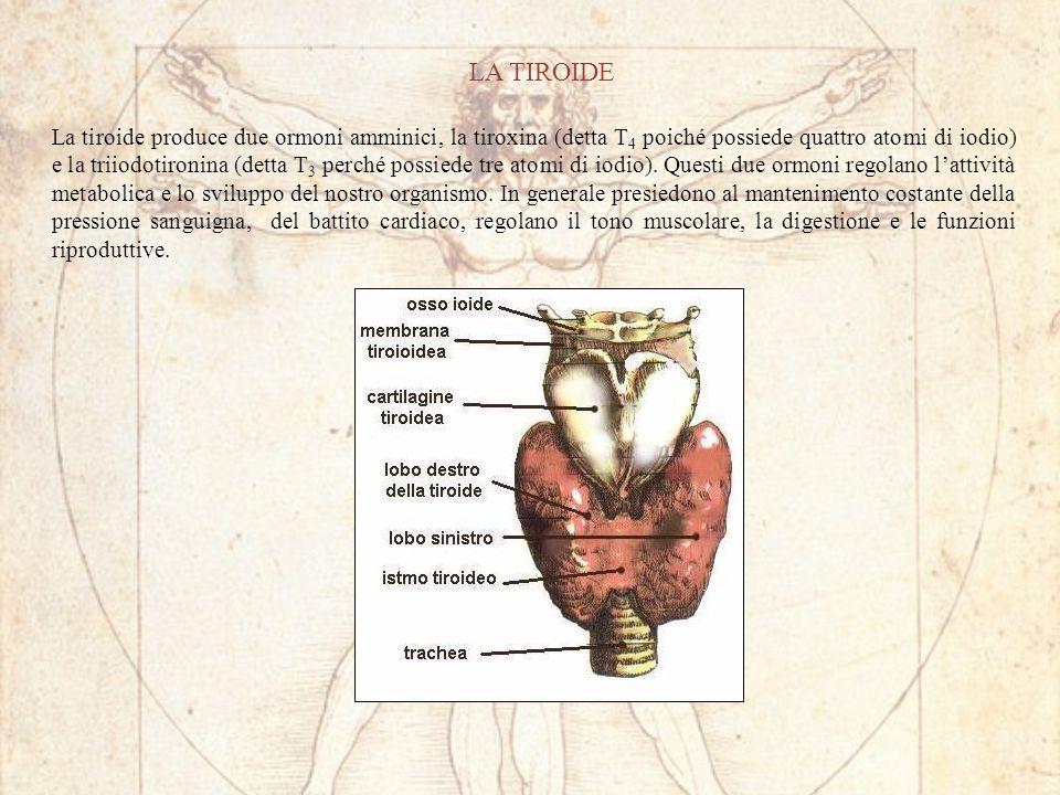 LA TIROIDE La tiroide produce due ormoni amminici, la tiroxina (detta T 4 poiché possiede quattro atomi di iodio) e la triiodotironina (detta T 3 perché possiede tre atomi di iodio).