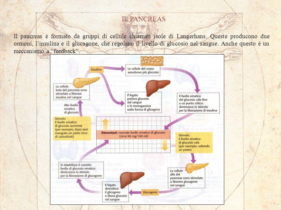 IL PANCREAS Il pancreas è formato da gruppi di cellule chiamati isole di Langerhans.