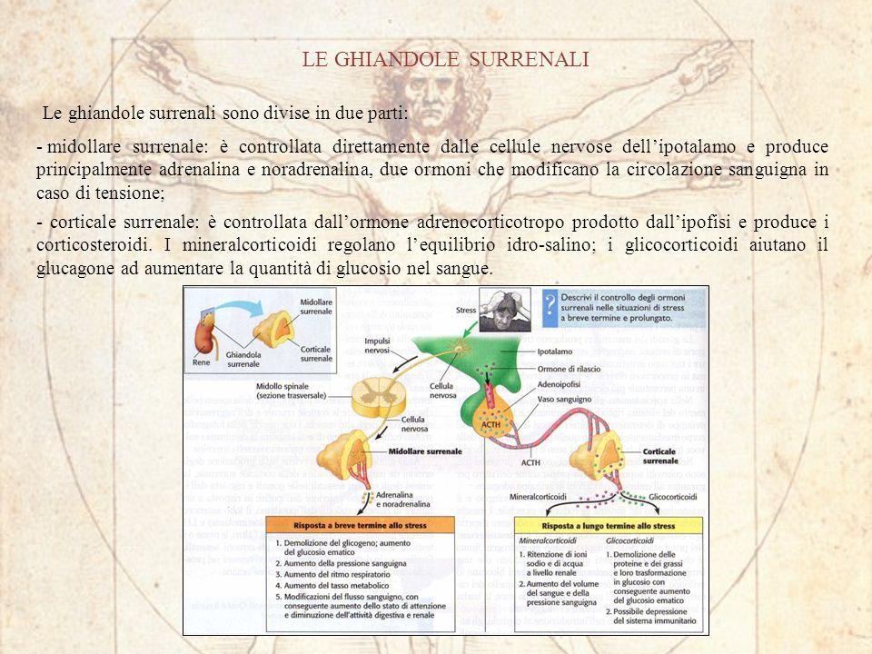 LE GHIANDOLE SURRENALI Le ghiandole surrenali sono divise in due parti: - midollare surrenale: è controllata direttamente dalle cellule nervose dellipotalamo e produce principalmente adrenalina e noradrenalina, due ormoni che modificano la circolazione sanguigna in caso di tensione; - corticale surrenale: è controllata dallormone adrenocorticotropo prodotto dallipofisi e produce i corticosteroidi.