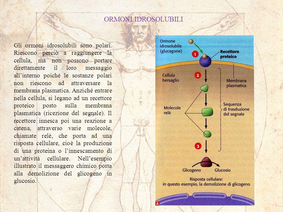 ORMONI IDROSOLUBILI Gli ormoni idrosolubili sono polari. Riescono perciò a raggiungere la cellula, ma non possono portare direttamente il loro messagg