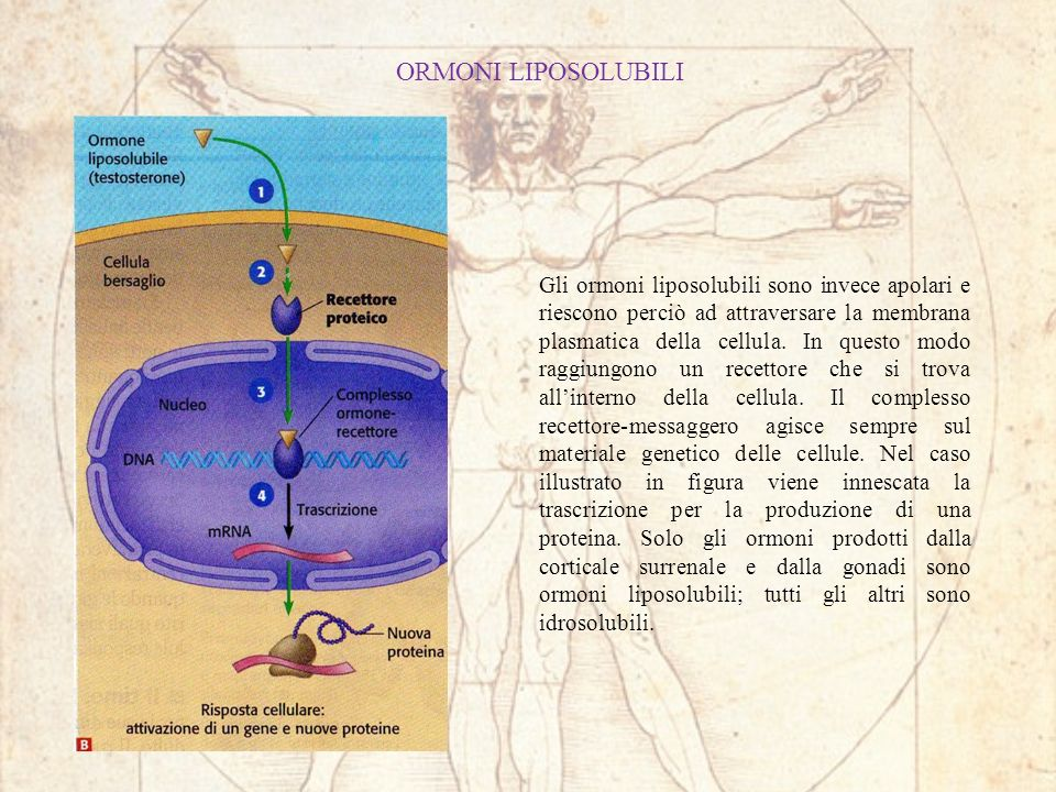 ORMONI LIPOSOLUBILI Gli ormoni liposolubili sono invece apolari e riescono perciò ad attraversare la membrana plasmatica della cellula. In questo modo