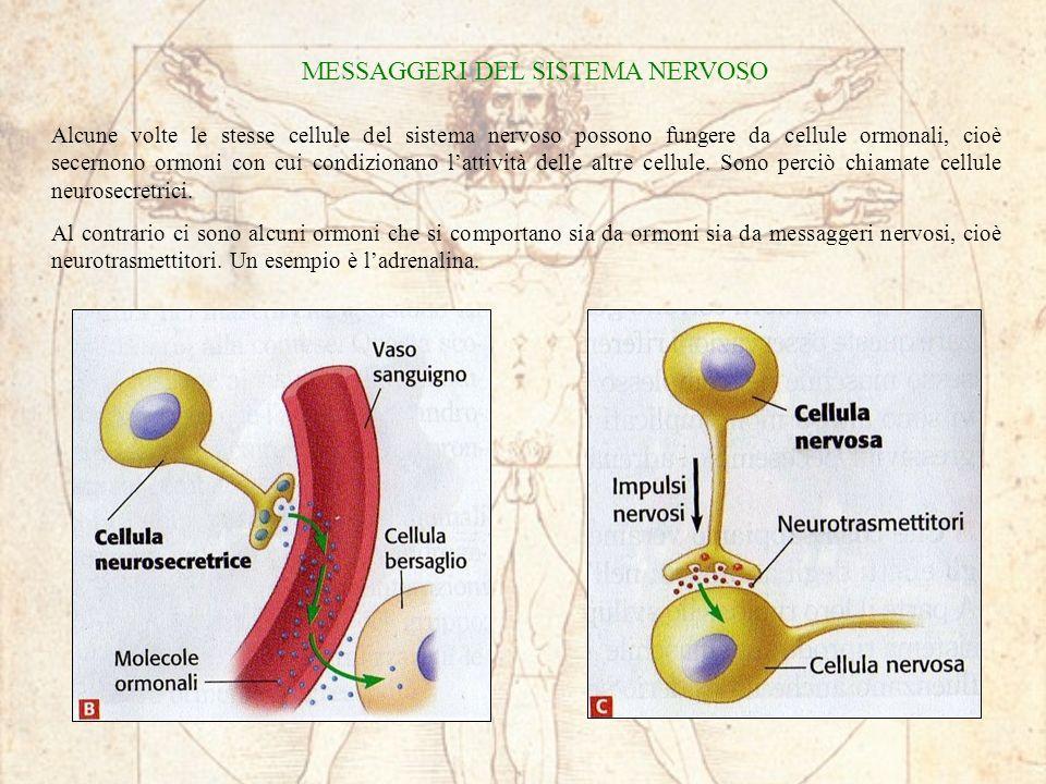 MESSAGGERI DEL SISTEMA NERVOSO Alcune volte le stesse cellule del sistema nervoso possono fungere da cellule ormonali, cioè secernono ormoni con cui condizionano lattività delle altre cellule.
