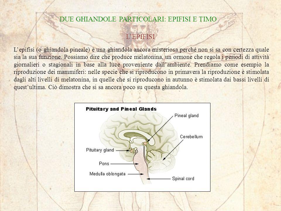 Lepifisi (o ghiandola pineale) è una ghiandola ancora misteriosa perché non si sa con certezza quale sia la sua funzione.