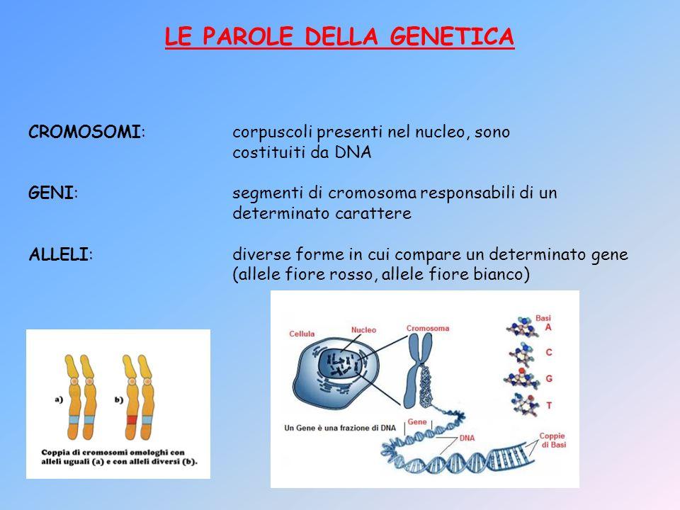 LE PAROLE DELLA GENETICA CROMOSOMI:corpuscoli presenti nel nucleo, sono costituiti da DNA GENI:segmenti di cromosoma responsabili di un determinato ca