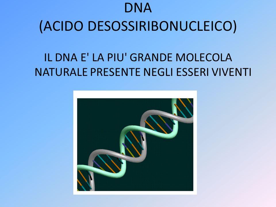 DNA (ACIDO DESOSSIRIBONUCLEICO) IL DNA E' LA PIU' GRANDE MOLECOLA NATURALE PRESENTE NEGLI ESSERI VIVENTI