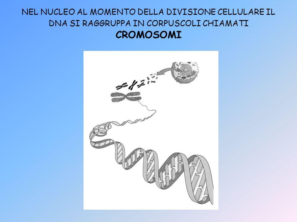 NEL NUCLEO AL MOMENTO DELLA DIVISIONE CELLULARE IL DNA SI RAGGRUPPA IN CORPUSCOLI CHIAMATI CROMOSOMI