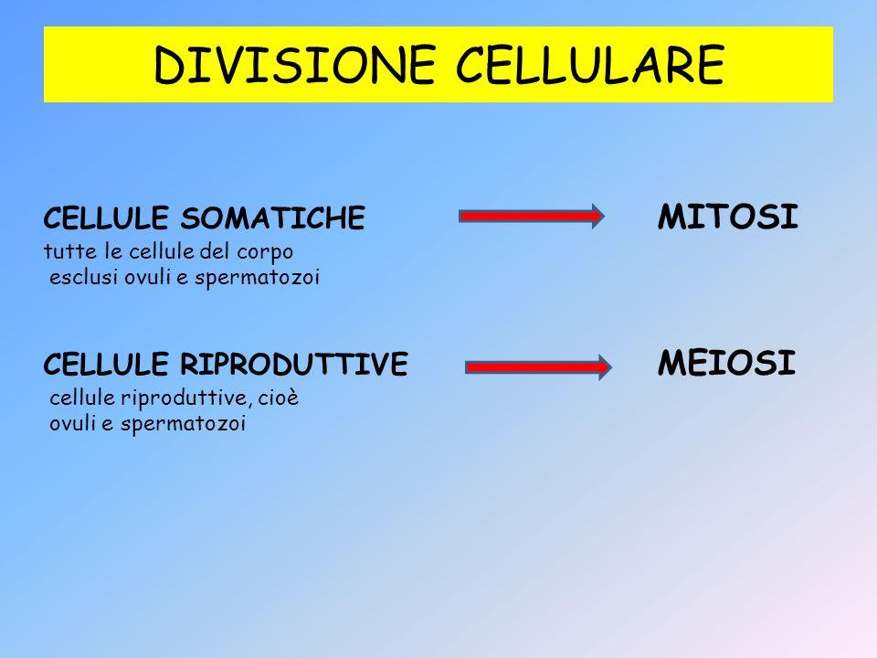 DIVISIONE CELLULARE CELLULE SOMATICHE MITOSI tutte le cellule del corpo esclusi ovuli e spermatozoi CELLULE RIPRODUTTIVE MEIOSI cellule riproduttive,