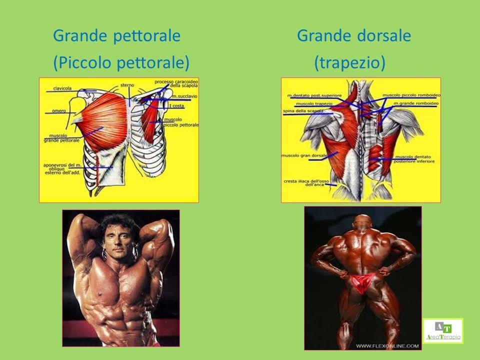Grande pettorale (Piccolo pettorale) Grande dorsale (trapezio)
