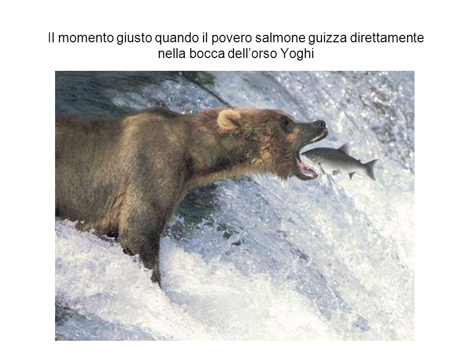 Il momento giusto quando il povero salmone guizza direttamente nella bocca dellorso Yoghi