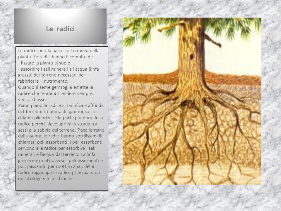 Le radici Le radici sono la parte sotterranea della pianta. Le radici hanno il compito di: - fissare la pianta al suolo. - assorbire i sali minerali e