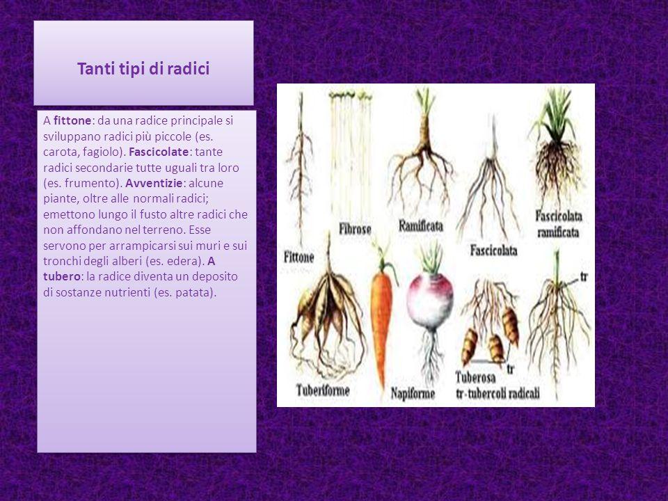 Tanti tipi di radici A fittone: da una radice principale si sviluppano radici più piccole (es. carota, fagiolo). Fascicolate: tante radici secondarie