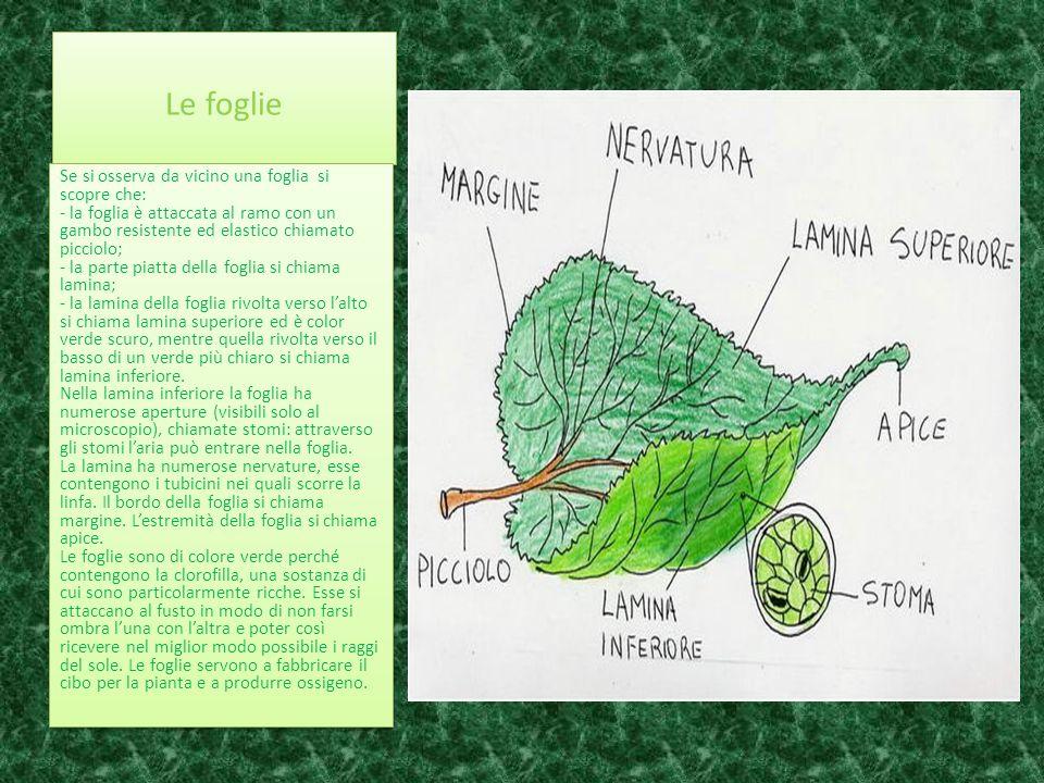 Le foglie Se si osserva da vicino una foglia si scopre che: - la foglia è attaccata al ramo con un gambo resistente ed elastico chiamato picciolo; - l
