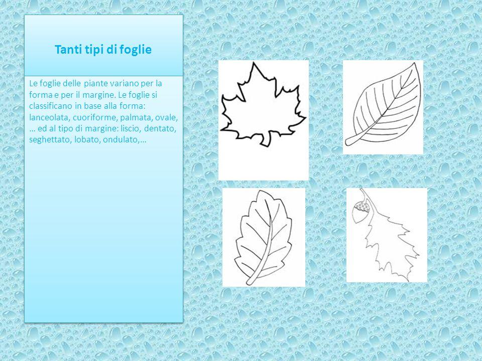 Tanti tipi di foglie Le foglie delle piante variano per la forma e per il margine. Le foglie si classificano in base alla forma: lanceolata, cuoriform