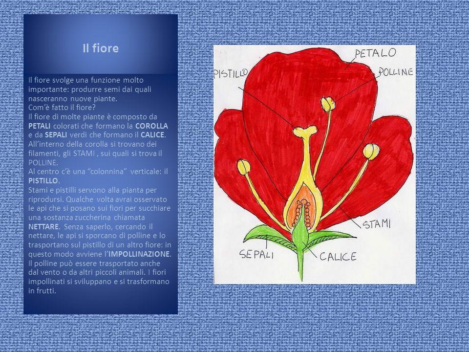 Il fiore Il fiore svolge una funzione molto importante: produrre semi dai quali nasceranno nuove piante. Comè fatto il fiore? Il fiore di molte piante