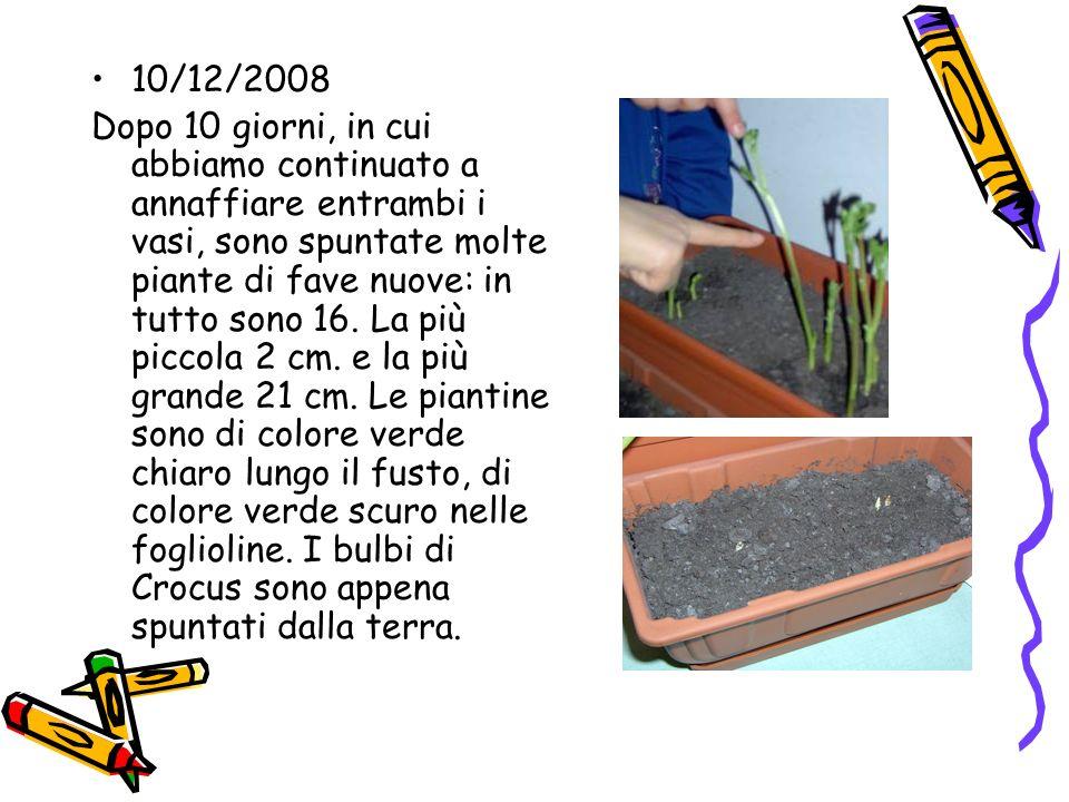 10/12/2008 Dopo 10 giorni, in cui abbiamo continuato a annaffiare entrambi i vasi, sono spuntate molte piante di fave nuove: in tutto sono 16. La più