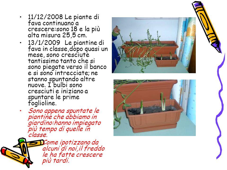11/12/2008Le piante di fava continuano a crescere:sono 18 e la più alta misura 25,5 cm. 13/1/2009Le piantine di fava in classe,dopo quasi un mese, son