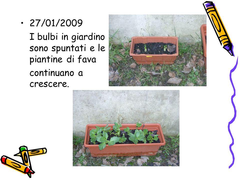 27/01/2009 I bulbi in giardino sono spuntati e le piantine di fava continuano a crescere.