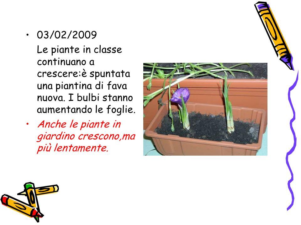 03/02/2009 Le piante in classe continuano a crescere:è spuntata una piantina di fava nuova. I bulbi stanno aumentando le foglie. Anche le piante in gi