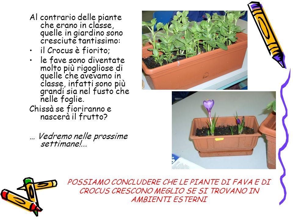 Al contrario delle piante che erano in classe, quelle in giardino sono cresciute tantissimo: il Crocus è fiorito; le fave sono diventate molto più rig