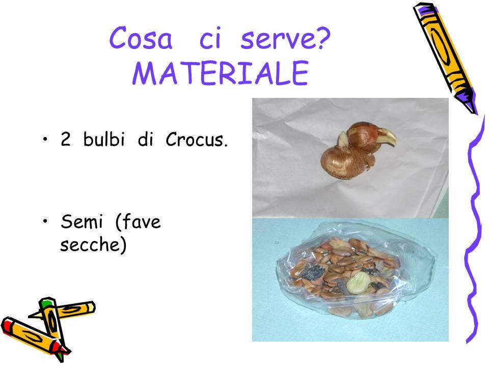 Cosa ci serve? MATERIALE 2 bulbi di Crocus. Semi (fave secche)
