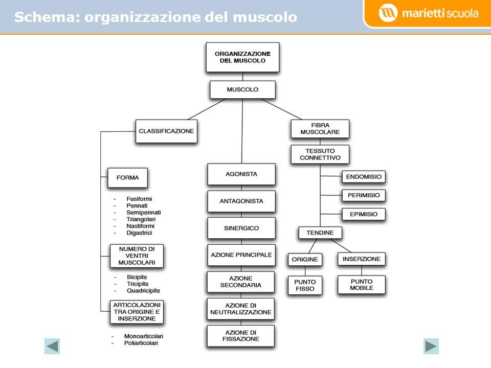 Schema: organizzazione del muscolo