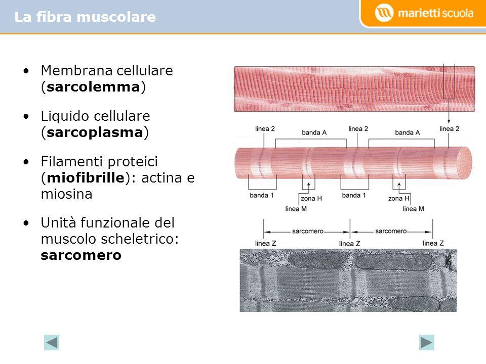 Membrana cellulare (sarcolemma) Liquido cellulare (sarcoplasma) Filamenti proteici (miofibrille): actina e miosina Unità funzionale del muscolo schele
