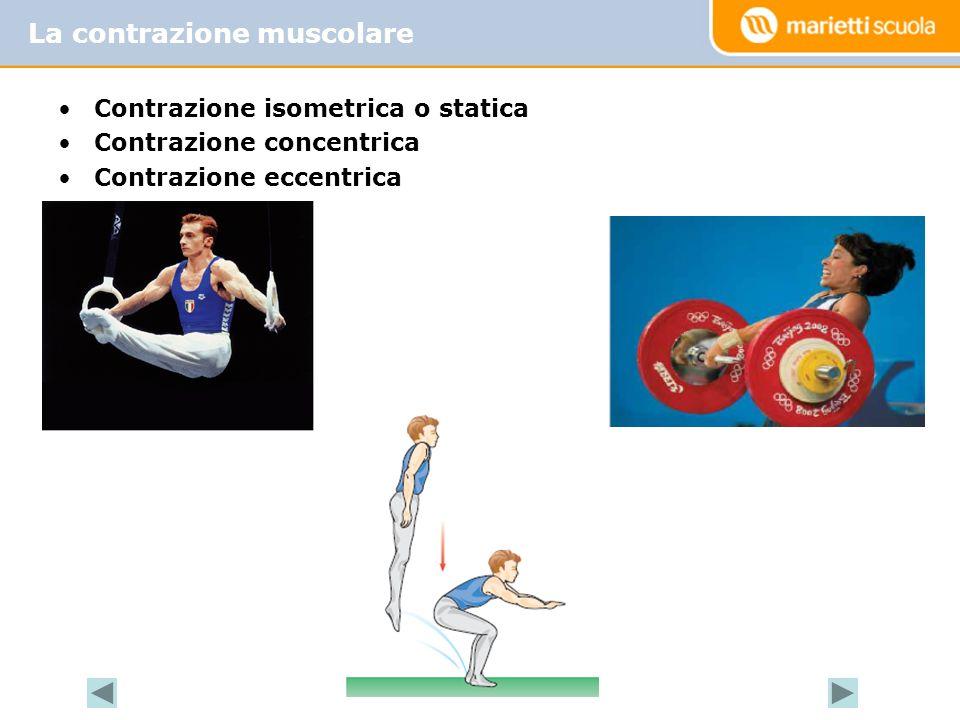 Contrazione isometrica o statica Contrazione concentrica Contrazione eccentrica La contrazione muscolare
