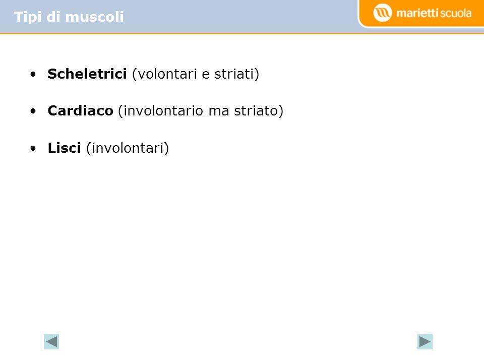 Scheletrici (volontari e striati) Cardiaco (involontario ma striato) Lisci (involontari) Tipi di muscoli