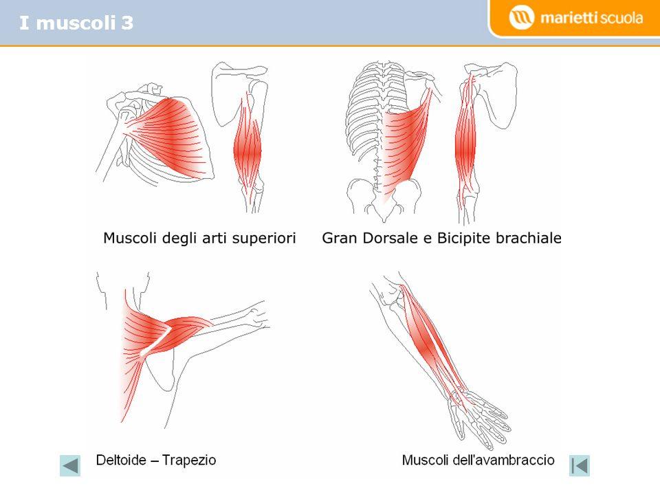 I muscoli 3