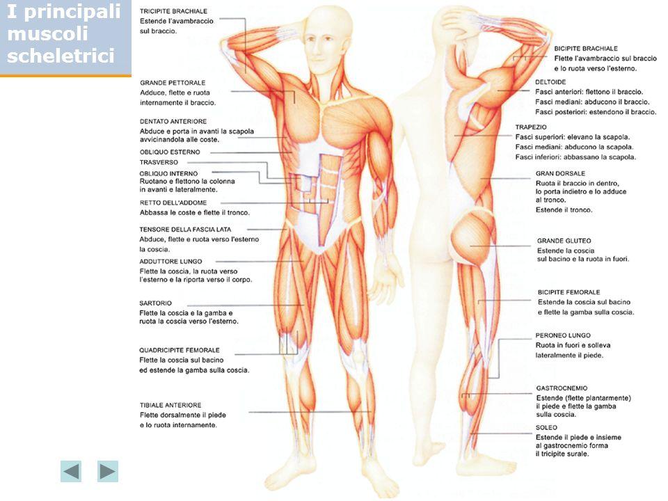 I principali muscoli scheletrici