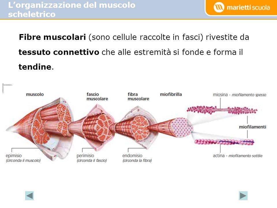 Fibre muscolari (sono cellule raccolte in fasci) rivestite da tessuto connettivo che alle estremità si fonde e forma il tendine. Lorganizzazione del m
