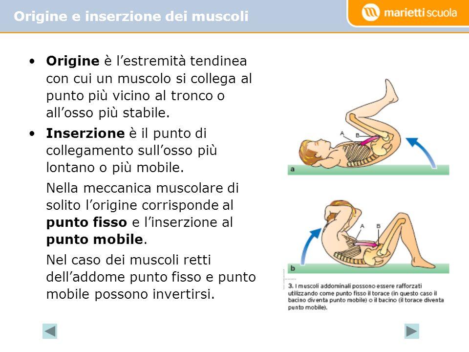 Origine e inserzione dei muscoli Origine è lestremità tendinea con cui un muscolo si collega al punto più vicino al tronco o allosso più stabile. Inse