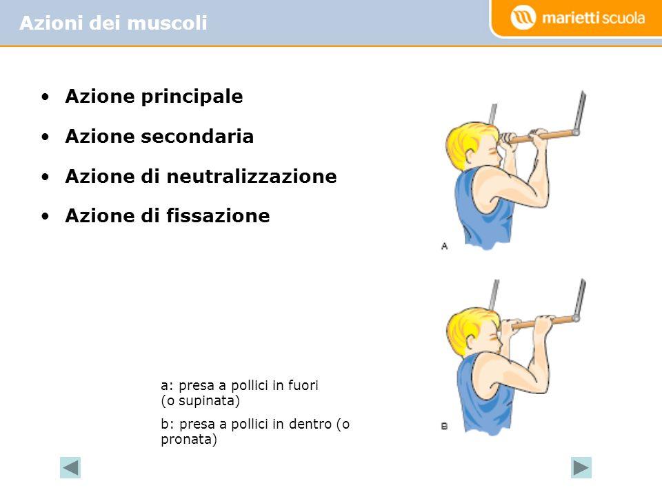 Azione principale Azione secondaria Azione di neutralizzazione Azione di fissazione Azioni dei muscoli a: presa a pollici in fuori (o supinata) b: pre