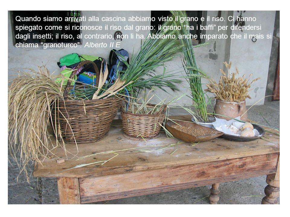 Quando siamo arrivati alla cascina abbiamo visto il grano e il riso. Ci hanno spiegato come si riconosce il riso dal grano: il grano ha i baffi per di