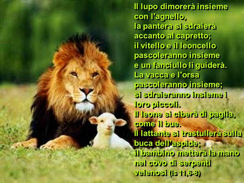 Il lupo dimorerà insieme con l'agnello, la pantera si sdraierà accanto al capretto; il vitello e il leoncello pascoleranno insieme e un fanciullo li g