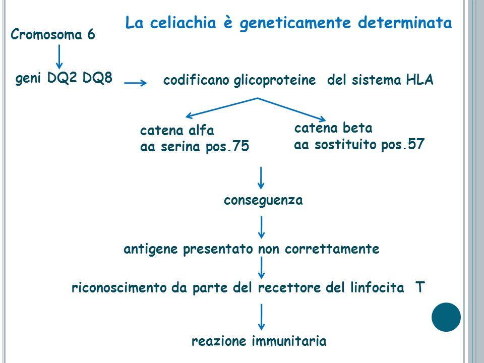 Cromosoma 6 catena beta geni DQ2 DQ8 codificano glicoproteine del sistema HLA aa sostituito pos.57 antigene presentato non correttamente riconosciment
