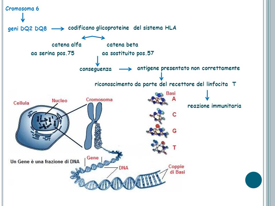 Cromosoma 6 catena alfa catena beta aa serina pos.75 geni DQ2 DQ8 codificano glicoproteine del sistema HLA aa sostituito pos.57 antigene presentato no