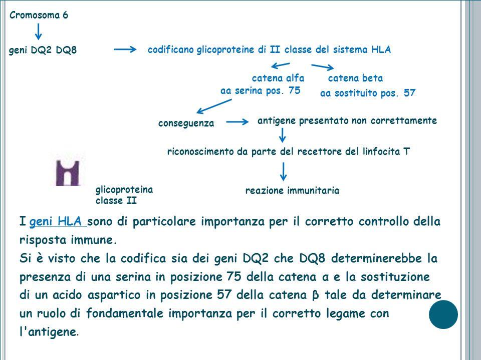Cromosoma 6 catena alfa catena beta aa sostituito pos. 57 I geni HLA sono di particolare importanza per il corretto controllo della risposta immune. S
