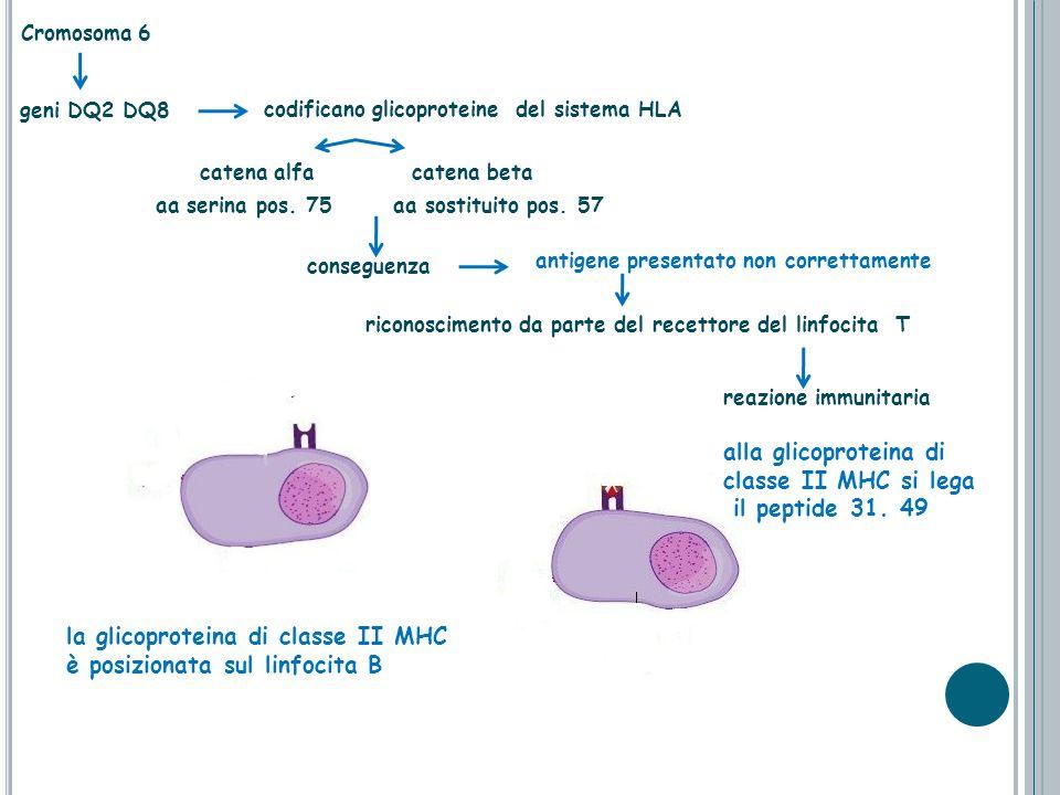 Cromosoma 6 catena alfa catena beta aa serina pos. 75 geni DQ2 DQ8 codificano glicoproteine del sistema HLA aa sostituito pos. 57 antigene presentato