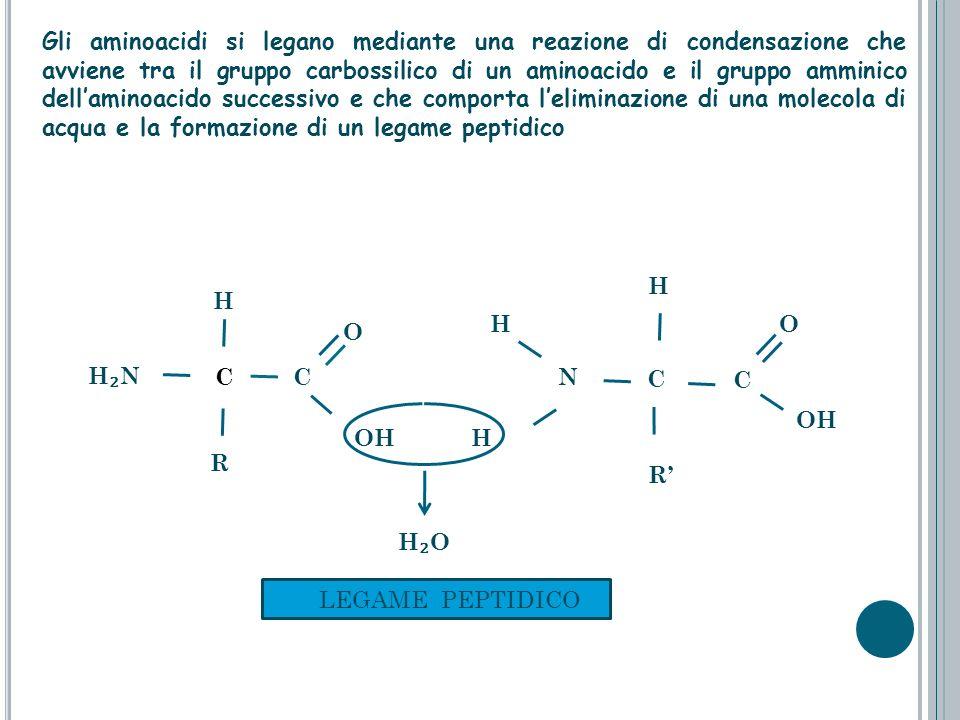 C OH C O R H N N H C O C H OH R H LEGAME PEPTIDICO Gli aminoacidi si legano mediante una reazione di condensazione che avviene tra il gruppo carbossil
