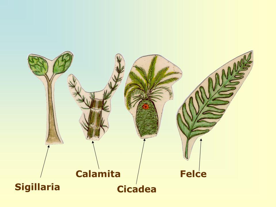 Sigillaria Calamita Cicadea Felce