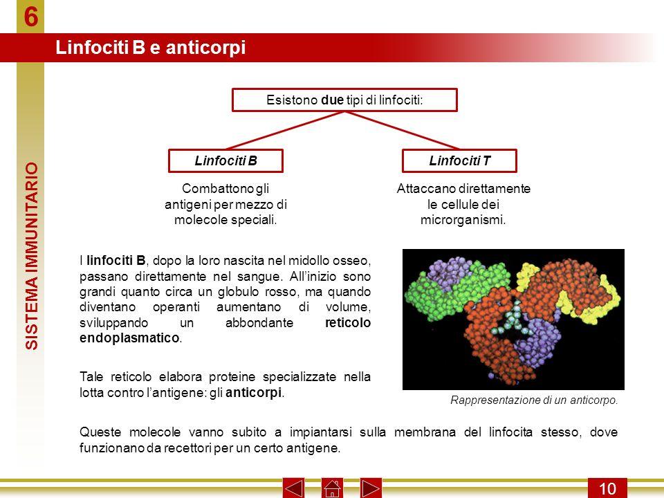 6 10 Esistono due tipi di linfociti: Combattono gli antigeni per mezzo di molecole speciali. Linfociti BLinfociti T Attaccano direttamente le cellule