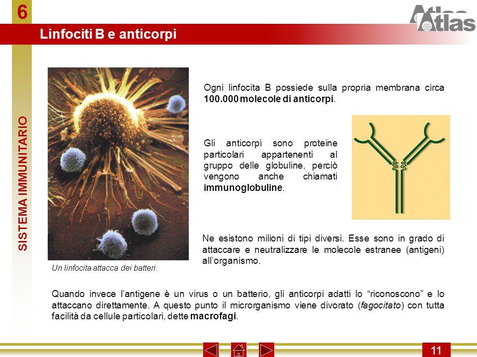 6 11 Ogni linfocita B possiede sulla propria membrana circa 100.000 molecole di anticorpi. Gli anticorpi sono proteine particolari appartenenti al gru