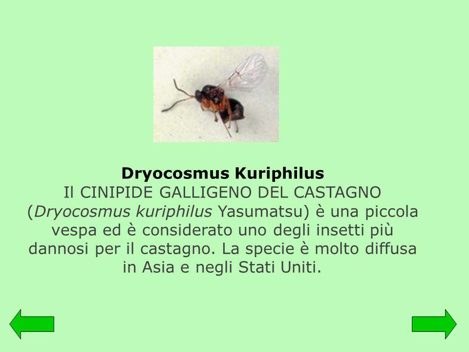 Dryocosmus Kuriphilus Il CINIPIDE GALLIGENO DEL CASTAGNO (Dryocosmus kuriphilus Yasumatsu) è una piccola vespa ed è considerato uno degli insetti più dannosi per il castagno.