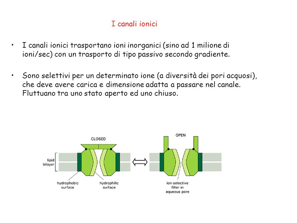 I canali ionici I canali ionici trasportano ioni inorganici (sino ad 1 milione di ioni/sec) con un trasporto di tipo passivo secondo gradiente. Sono s
