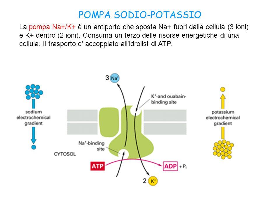 POMPA SODIO-POTASSIO La pompa Na+/K+ è un antiporto che sposta Na+ fuori dalla cellula (3 ioni) e K+ dentro (2 ioni). Consuma un terzo delle risorse e