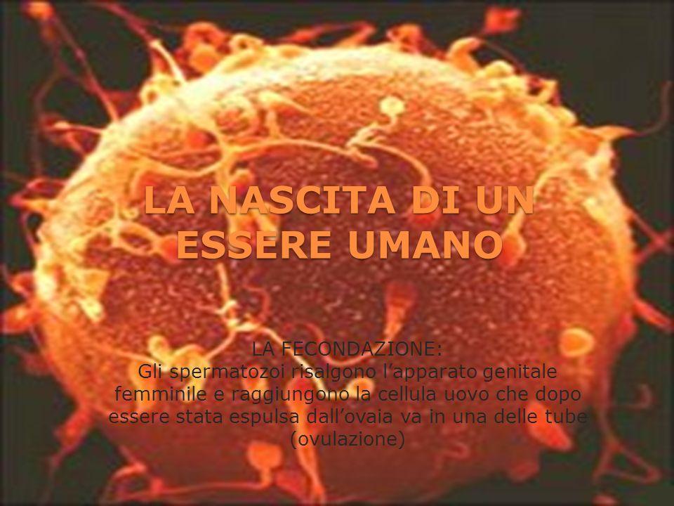 LA NASCITA DI UN ESSERE UMANO LA FECONDAZIONE: Gli spermatozoi risalgono lapparato genitale femminile e raggiungono la cellula uovo che dopo essere st