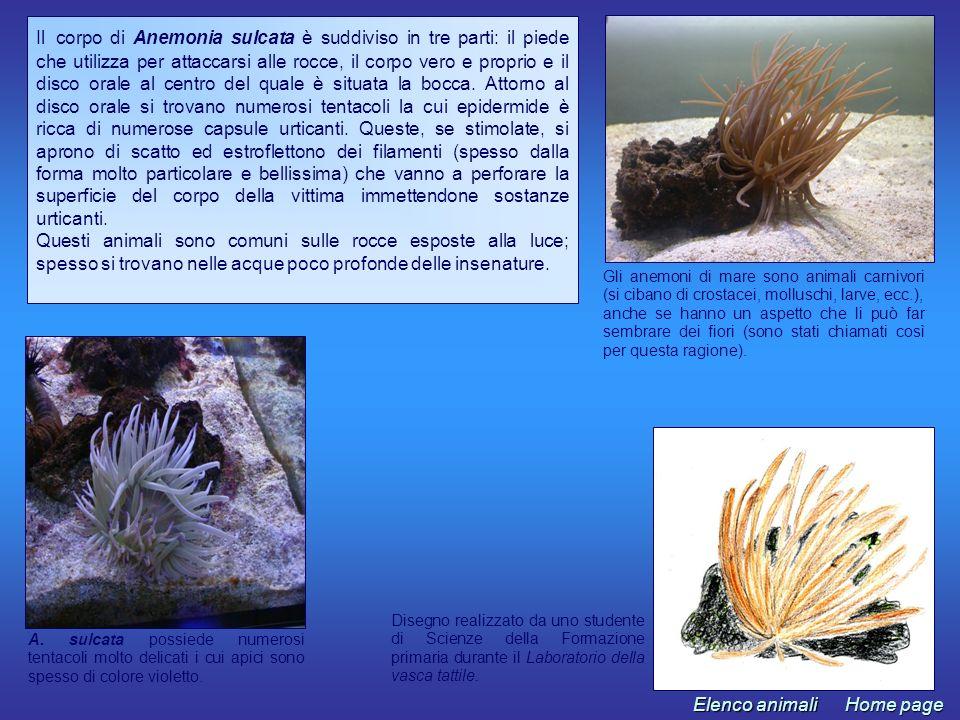 Gli anemoni di mare sono animali carnivori (si cibano di crostacei, molluschi, larve, ecc.), anche se hanno un aspetto che li può far sembrare dei fio