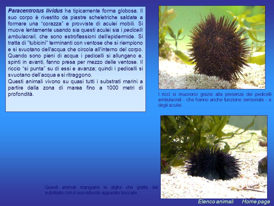 Holothuria tubulosa ha una forma cilindrica che giustifica il nome comune di cetriolo di mare.